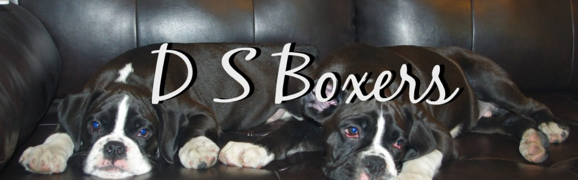 Boxers For Sale | Texas | D & S Boxers | (254) 383-3653