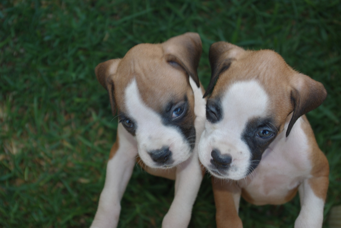 Boxers For Sale   Texas   D & S Boxers   (254) 383-3653